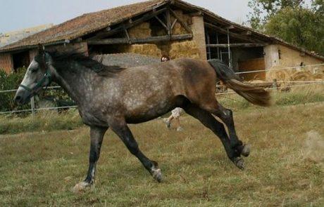 סוסים חומים פצועים